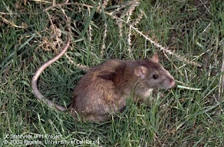 Norway Rat* (Rattus norvegicus)