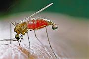 Malária: Não existe um por campo