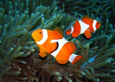 Clown Fish Facts on Their Enemies Among The Stinging Tentacles Of Sea Anemones  The Fish