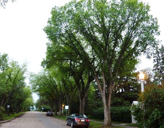 American elm princeton for American elm