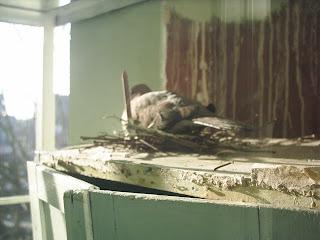 güvercin kumru ve yuvası