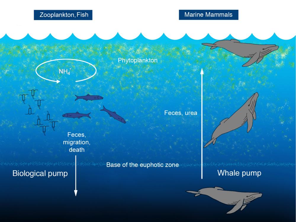 Blue Carbon Blog The Whale Pump