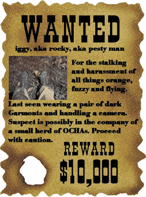 Wanted poster for iggy aka rocky aka pesty man. For the stalking and harrassment of all things orange fuzzy and flying. Last seen wearing a pair of Garmonts and handling a camera. Suspect is possibly in the company of a small herd of OCHAs. Proceed with caution. Reward ten thousand dollars.