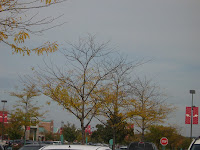 smallish trees with yellow leaves, half of which have already fallen to the ground
