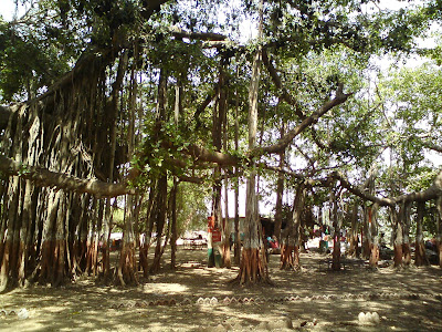 Kabirvad - The largest ond the oldest Banayan tree in India