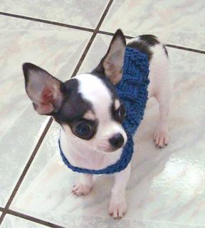 Knitting Pattern Chihuahua Jumper : KNITTING PATTERNS FOR CHIHUAHUA DOG COATS   KNITTING PATTERN