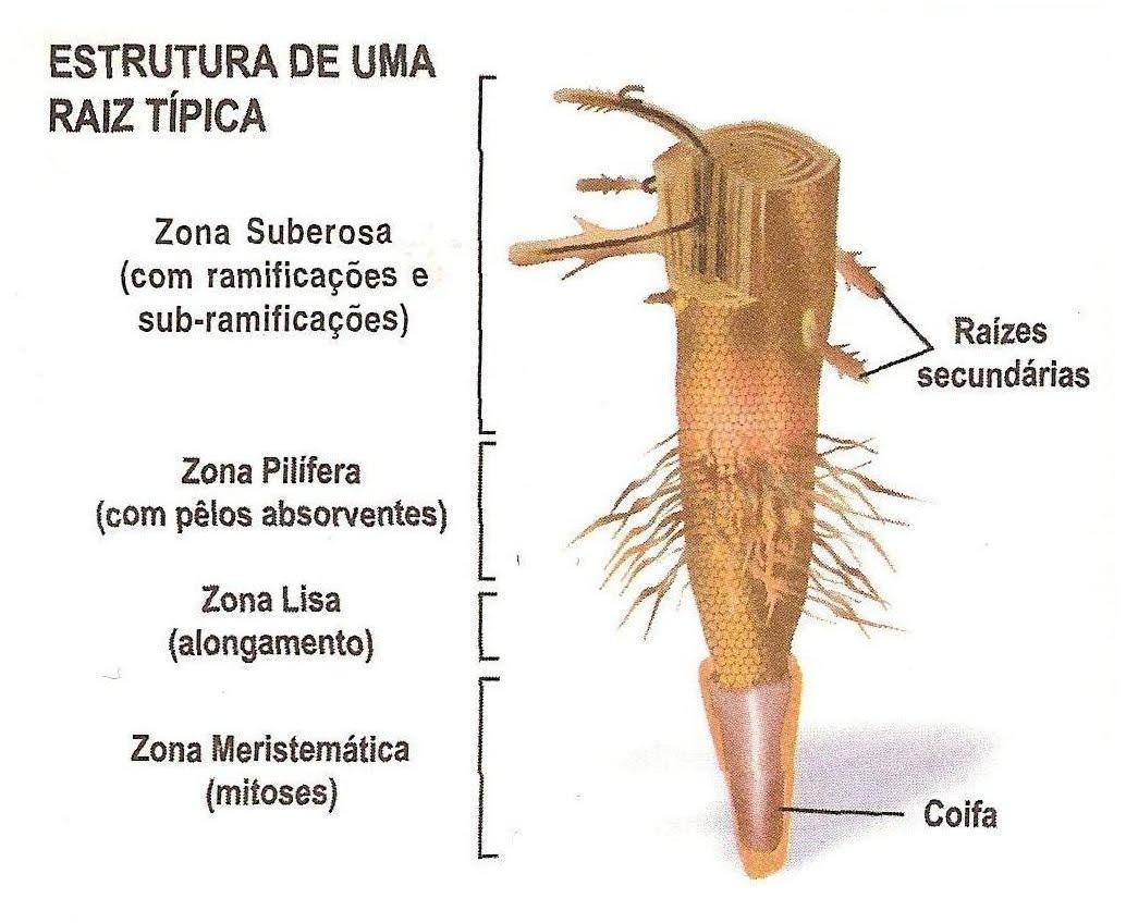 Anatomia e Morfologia Vegetal: RAIZ