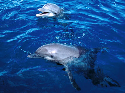 beautiful dolphin wallpapers