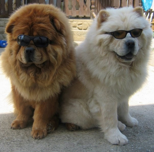 Mini Chow Chow http://theevilbarbie.blogspot.com/2010/10/it-could-be-you-but-tuesday-its.html