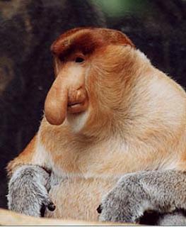 http://4.bp.blogspot.com/_eCQvgVjNcYo/SeOJj61XlOI/AAAAAAAAAXY/zTd6T30FW1c/s320/proboscis+monkey.JPG