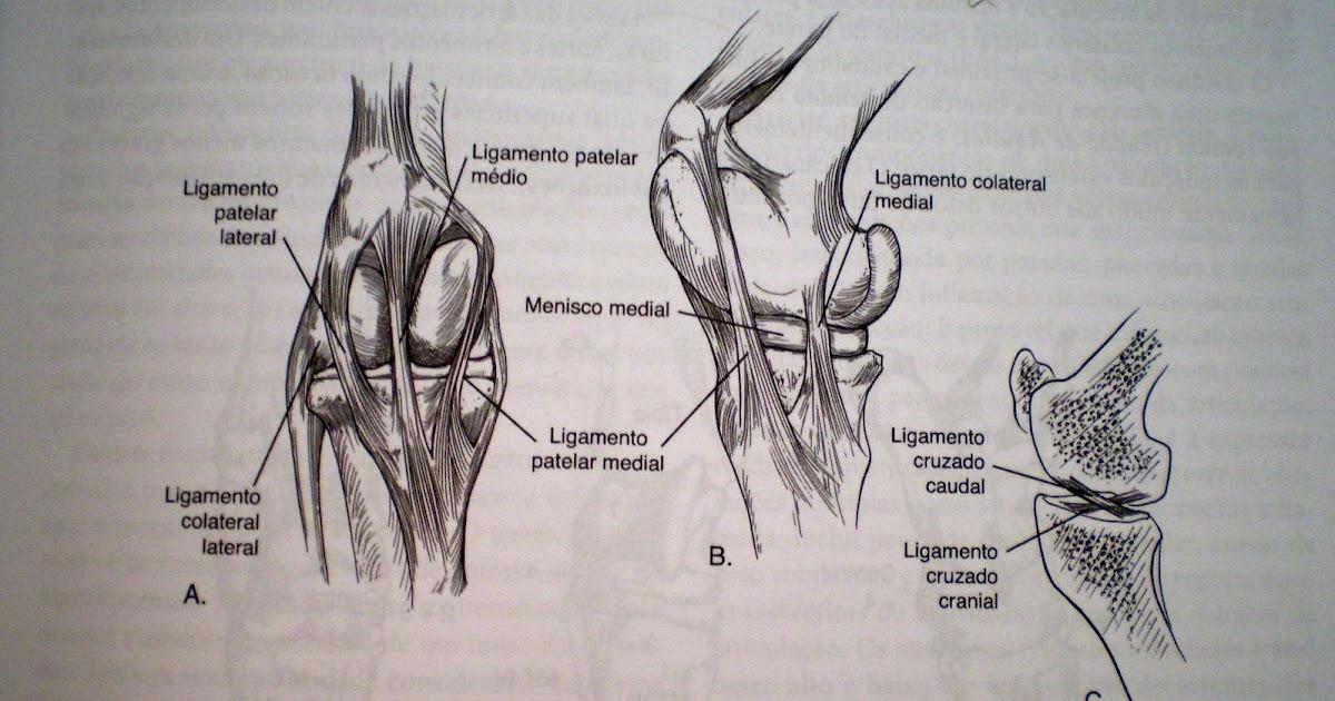 Lujoso Ligamento Rotuliano Medial Componente - Imágenes de Anatomía ...