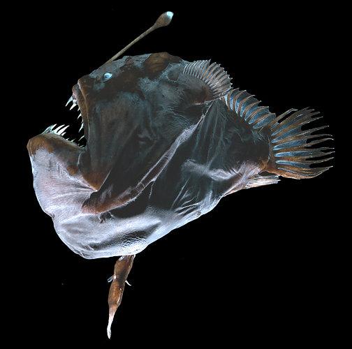 Como en el fondo del mar, un cardumen de PECES ABISALES.