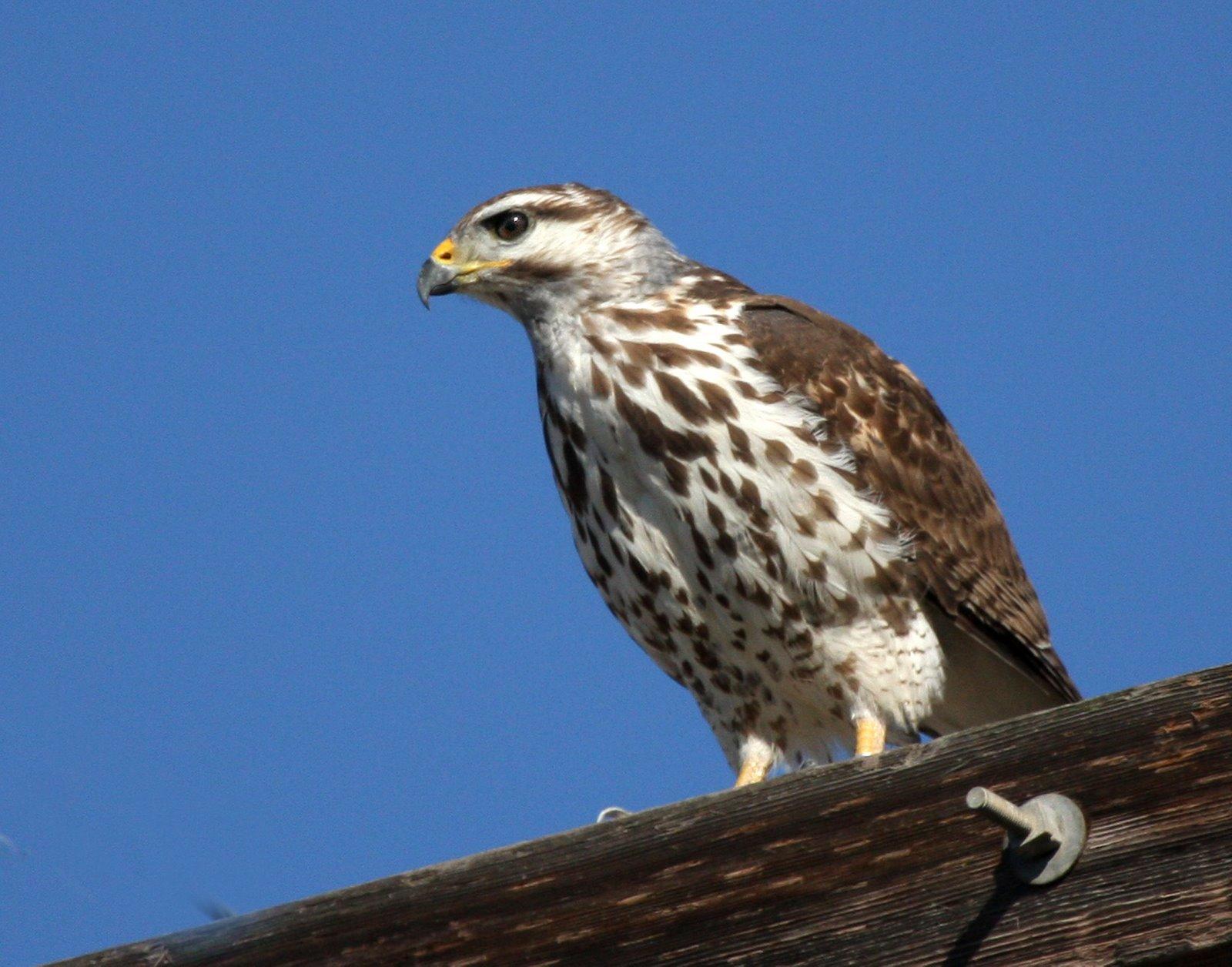 Raptor id costa rica birdforum for Gray hawk
