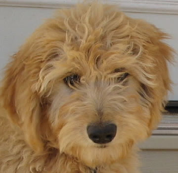 goldendoodle dogs pictures. lack goldendoodle dogs.