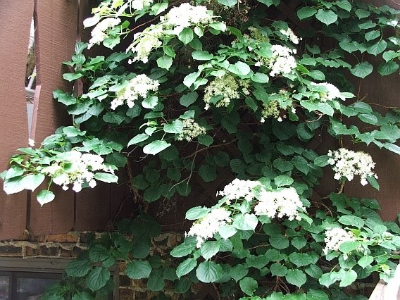 Shade Flowering Vines
