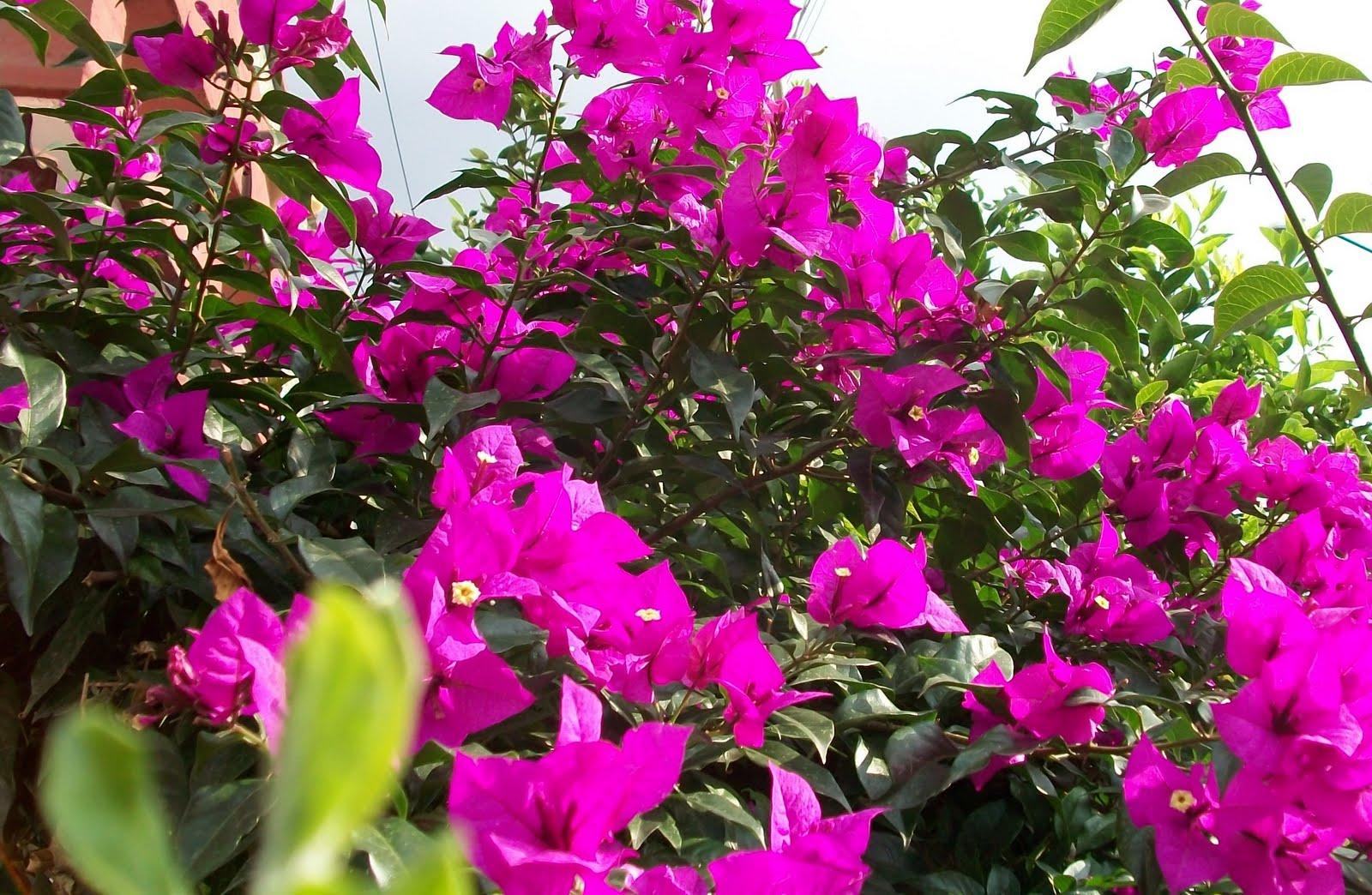 en la ciudad de méxico y en todo el país se dá esta hermosa planta
