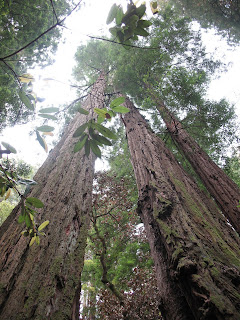 Very tall Redwood
