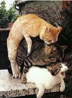 gatos fazem menage a trois e voyerismo