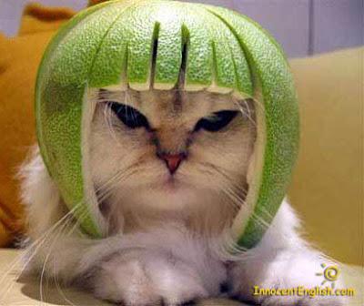 gato com melancia na cabeça