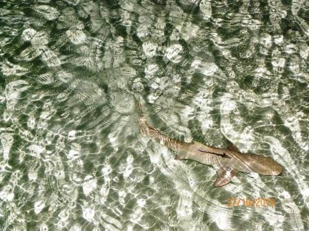 Tiburón en las Maldivas