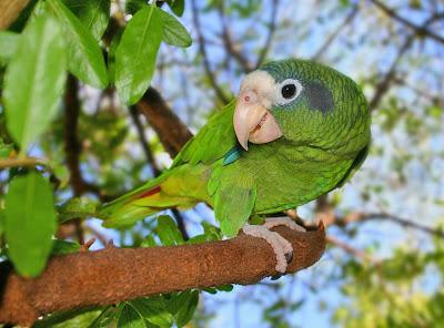 Amazona ventralis Amazonaventralis2+(1)