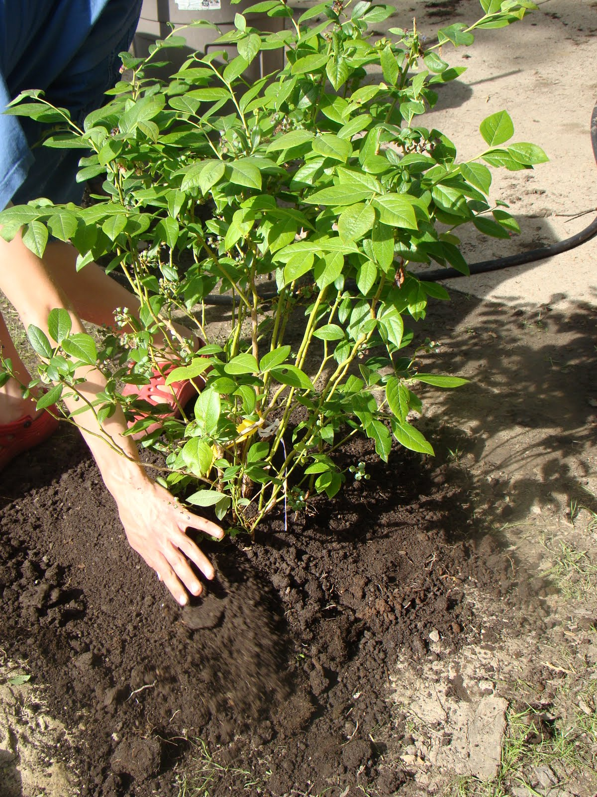 How to plant blueberry bush - I Love Blueberries And I Have Always Wanted To Grow My Own Last Year I Ordered Some From A Plant Catalog And The Tiny Twigs Arrived And Have Done Ok