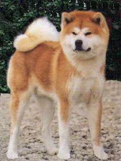 O Akita Hachiko Wszystko o Psac...