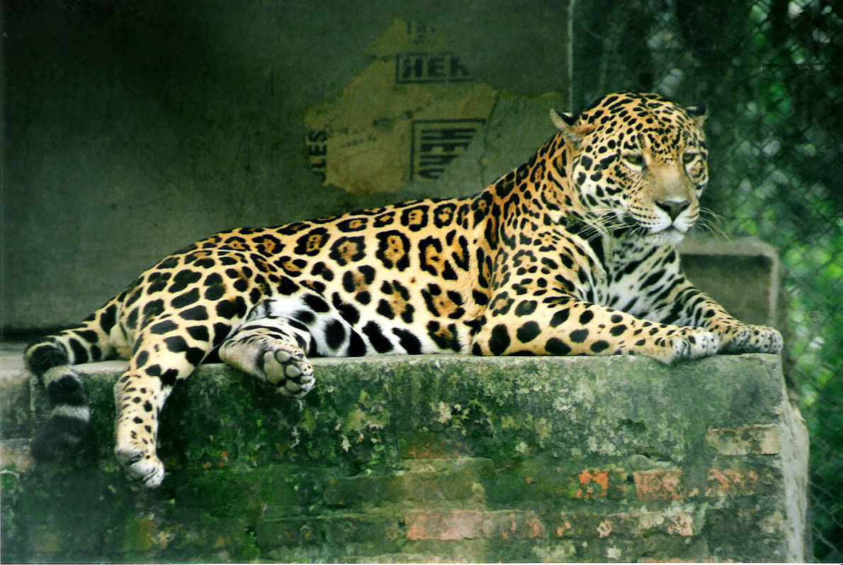 EL MUNDO ANIMAL: FELINOS genero Panthera(LEÓN,LEOPARDO, TIGRE Y JAGUAR)