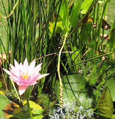 Water Garden in Bloom