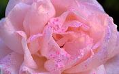 Una rosa de suave color rosado