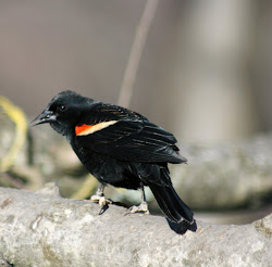 Red Winged Black Bird
