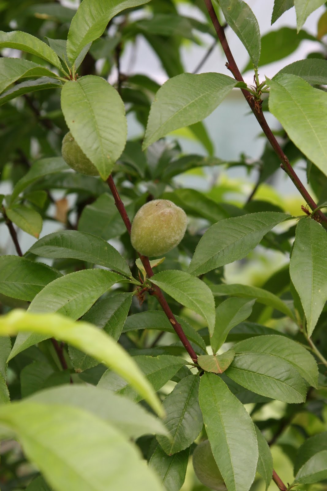 Greencube garden and landscape design uk we have peaches for Peach tree designs