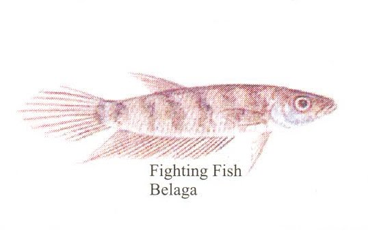 belaga fighting fish