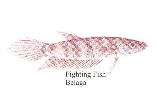 Kenali Spesis Ikan Air Tawar Malaysia (Bahagian 1)