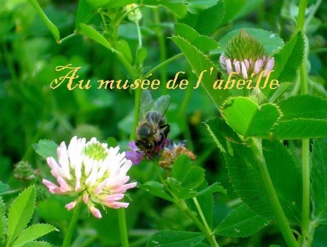 Abeille sur fleur de treifle