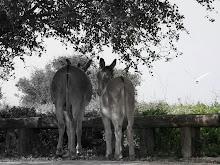 Neot Kedumim - Biblical Donkies - 2010