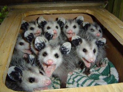 http://4.bp.blogspot.com/_eXnbChRCsuI/SwbOz72oGsI/AAAAAAAAAlw/HHdo5D1sIzU/s400/possum%2BBabies.jpg