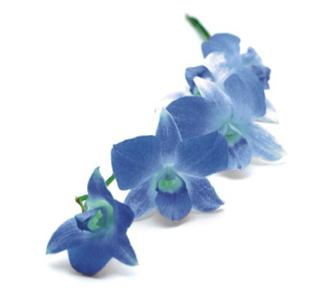 [blue_orchid_stem.jpg]