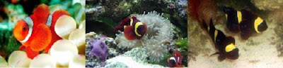 The maroon clownfish