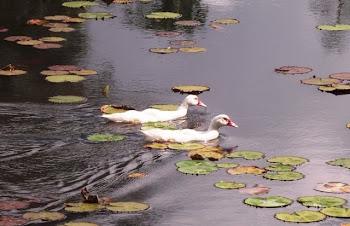 Patos na represa natural