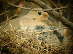 Mourning dove with Young