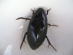 Big Water Beetle