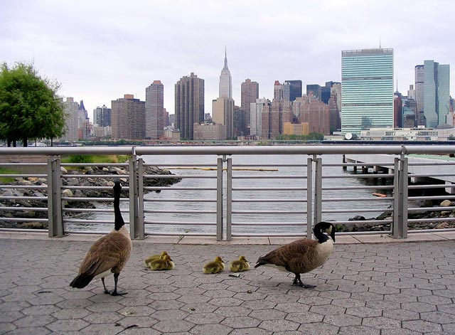 canada goose in new york