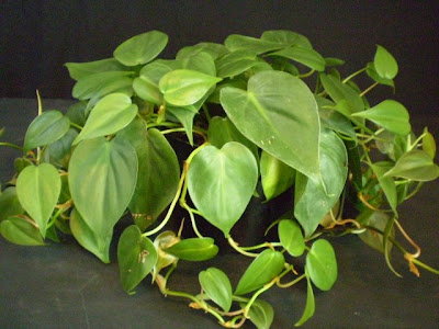 Plants Are The Strangest People Sailor Philodendron