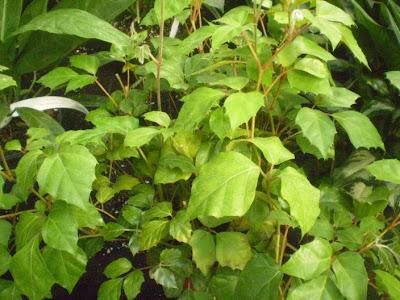 http://4.bp.blogspot.com/_eaKbvlcIK10/SekKId-jM8I/AAAAAAAAEzs/EVnqFxgVwzY/s400/cissus+rhombifolia+%28own%29.jpg