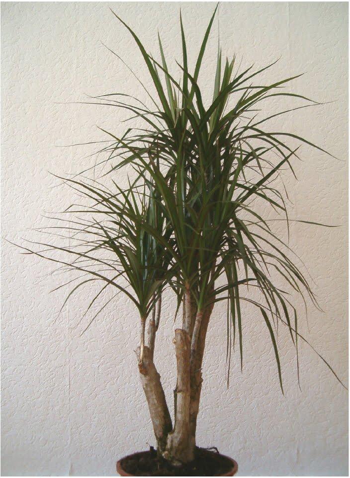 plants are the strangest people fall guy dracaena marginata. Black Bedroom Furniture Sets. Home Design Ideas