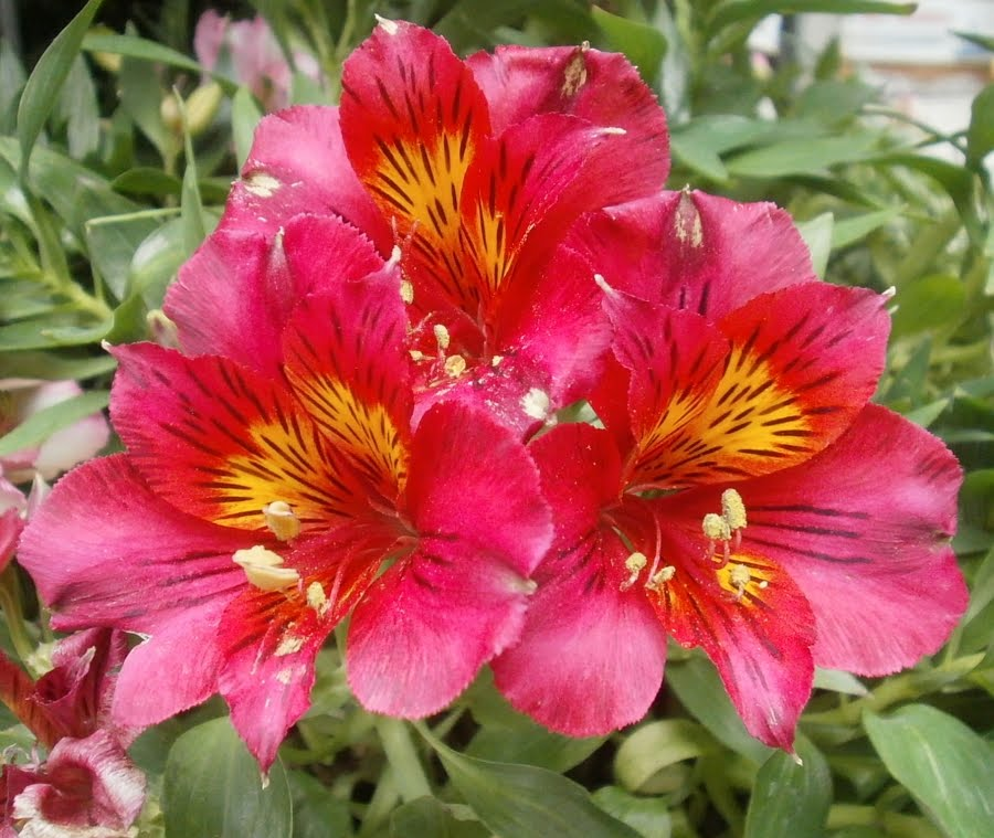 plants are the strangest people pretty pictures alstroemeria cvv. Black Bedroom Furniture Sets. Home Design Ideas