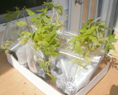 Lycopersicon+esculentum+bagged+seedlings+(own)