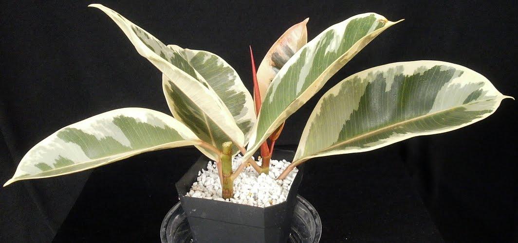 Ficus+elastica+tineke+cuttings+(own)