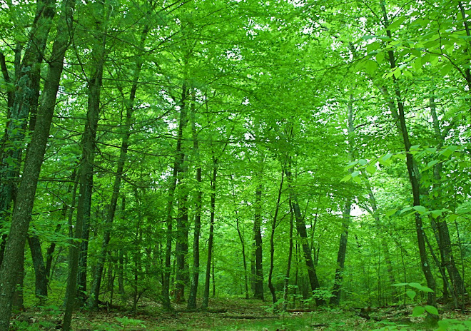 Thoreau's Woods